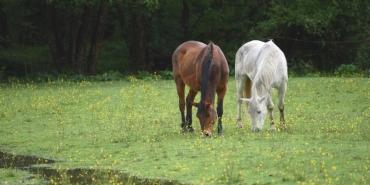 mutilations-chevaux-un-suspect-relache.jpg